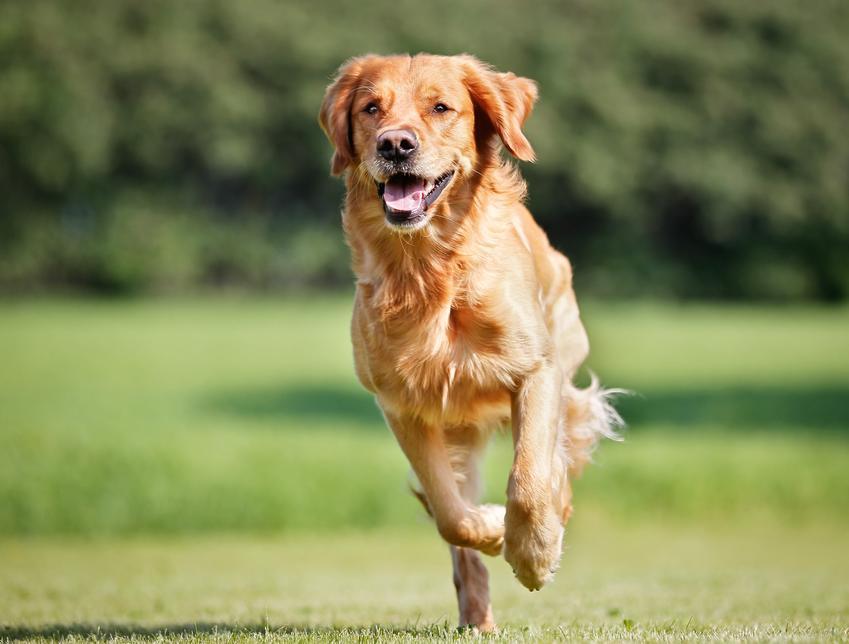 Pies biegnący po trawniku oraz cieczka u psa, objawy, jak długo trwa i porady