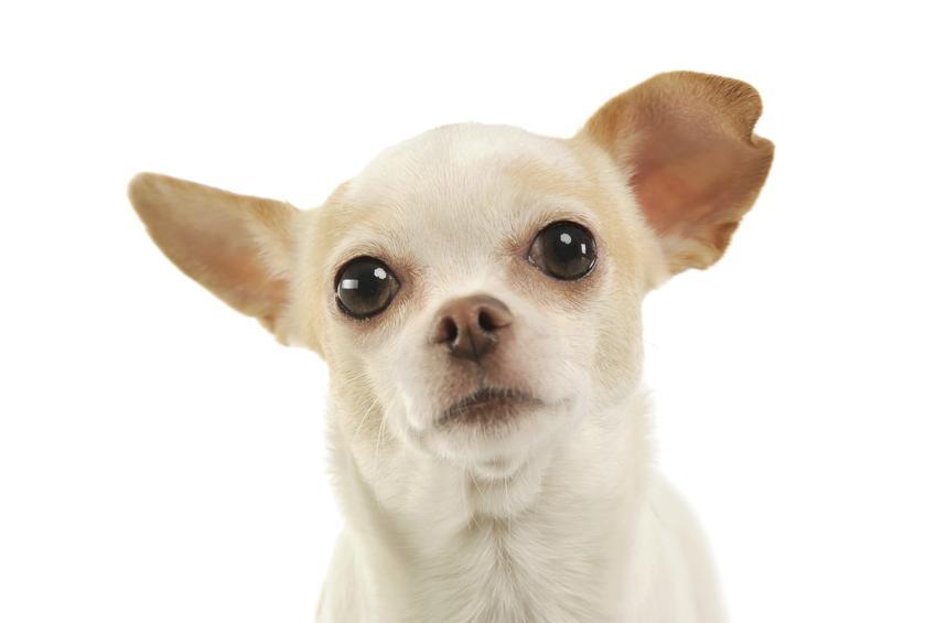 Pies rasy chihuahua na białym tle, a także rasy psów domowych