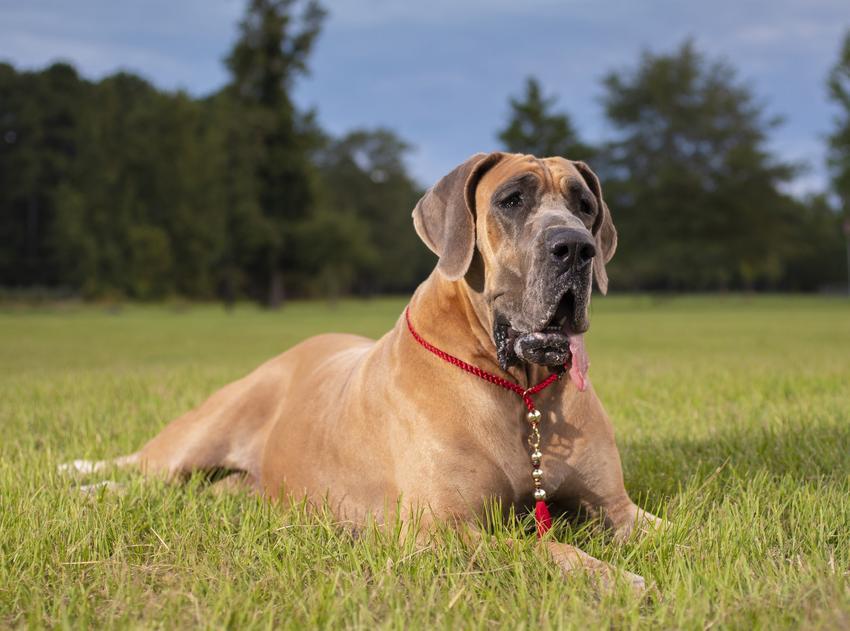 Pies rasy dog niemiecki siedzący na trawie, a także rasy psów domowych