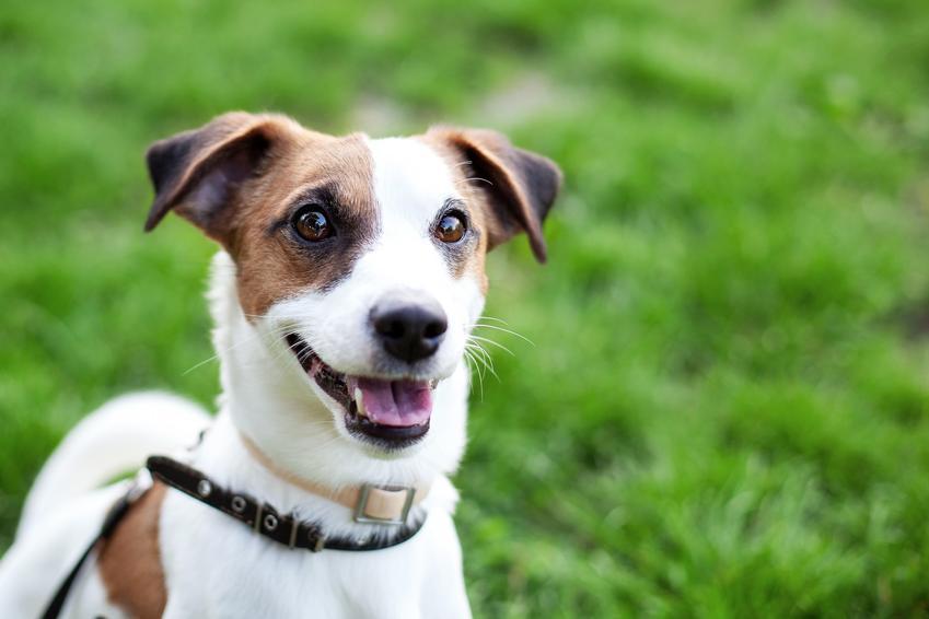 Pies rasy Jack Russel Terrier w czasie spaceru i inne rasy psów domowych