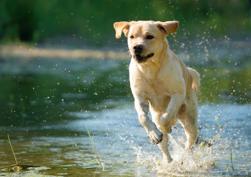 Labrador biegnący nad wodą, a także inne popularne i chętnie wybierane rasy psów