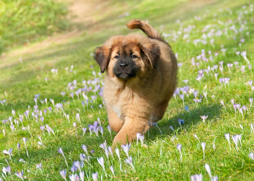 Pies rasy Mastif podczas spaceru po trawie oraz rasy psów domowych