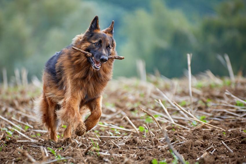 Owczarek niemiecki niosący w pysku patyk, a także popularne rasy psów