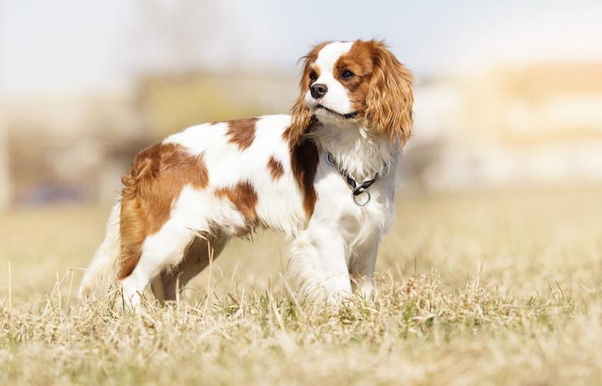 Pies rasy spaniel na tle pola, a także najbardziej znane rasy psów domowych