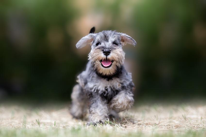 Pies rasy sznaucer miniaturowy podczas biegania w czasie spaceru i inne rasy psów domowych
