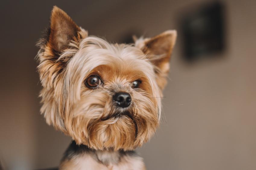 Yorkshiere terrier, a także inne znane i lubiane rasy psów domowych