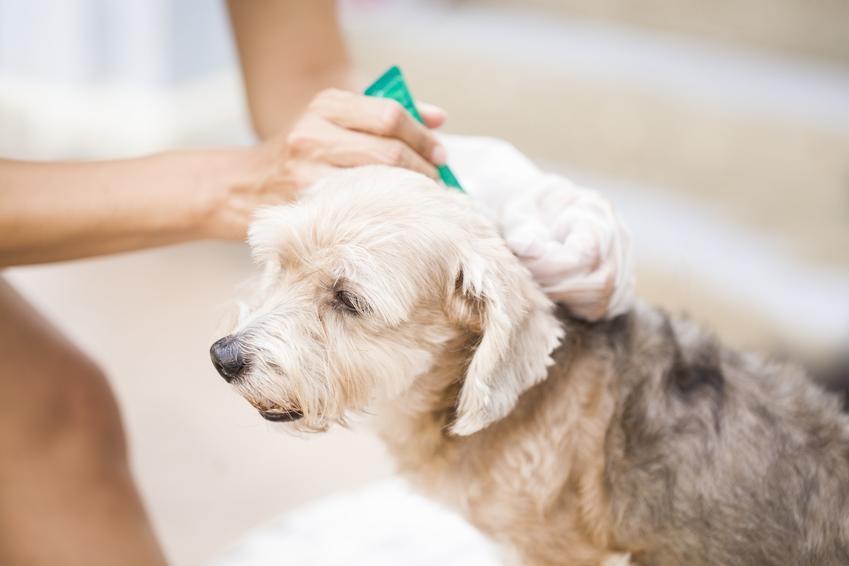 Pies podczas zabiegu pielęgnacyjnego oraz porady, jak pozbyć się pcheł u psa