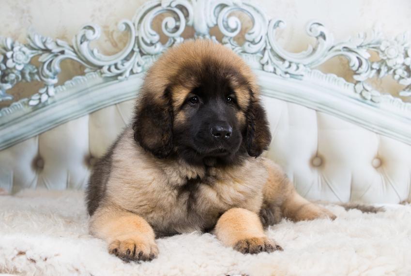 Pies rasy leonberger leżący na łóżku, a także polecane hodowla leonbergera w Polsce