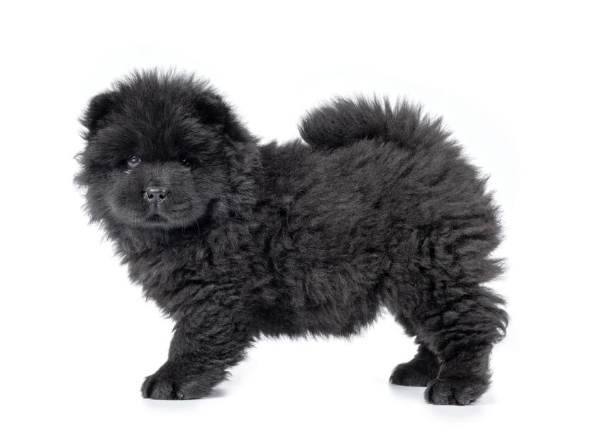 Pies rasy czarny chow chow na białym tle oraz jego hodowla i charakter