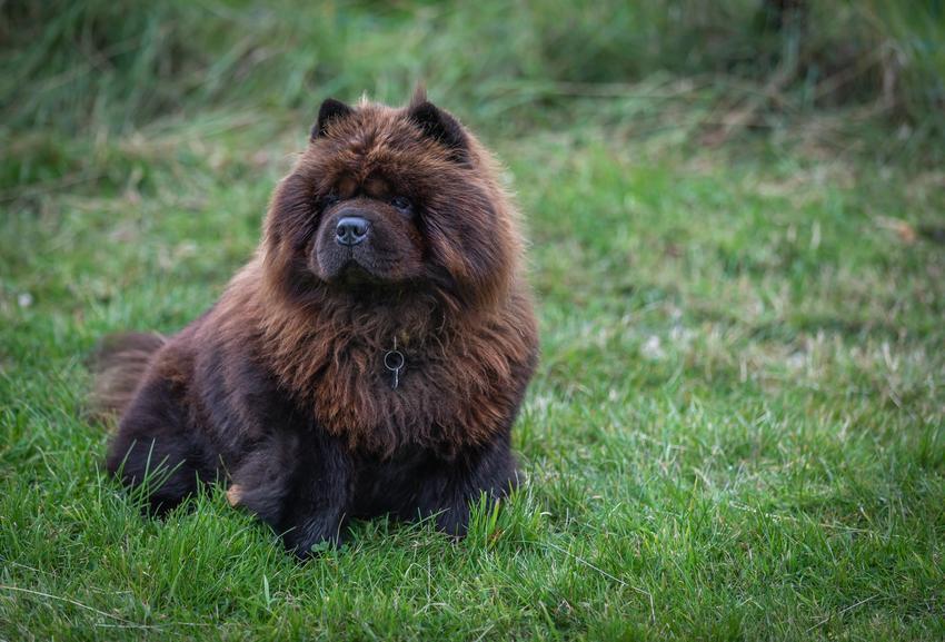 Pies rasy czarny chow chow na trawie, a także jego charakter, hodowla i cena