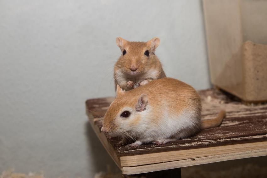 Myszoskoczki, a także polecana klatka dla myszoskoczka z wyposażeniem