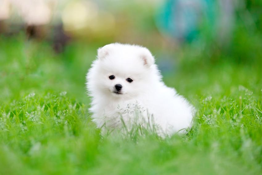 Pies rasy szpic miniaturowy siedzący w trawie, a także szczeniak szpica miniaturowego