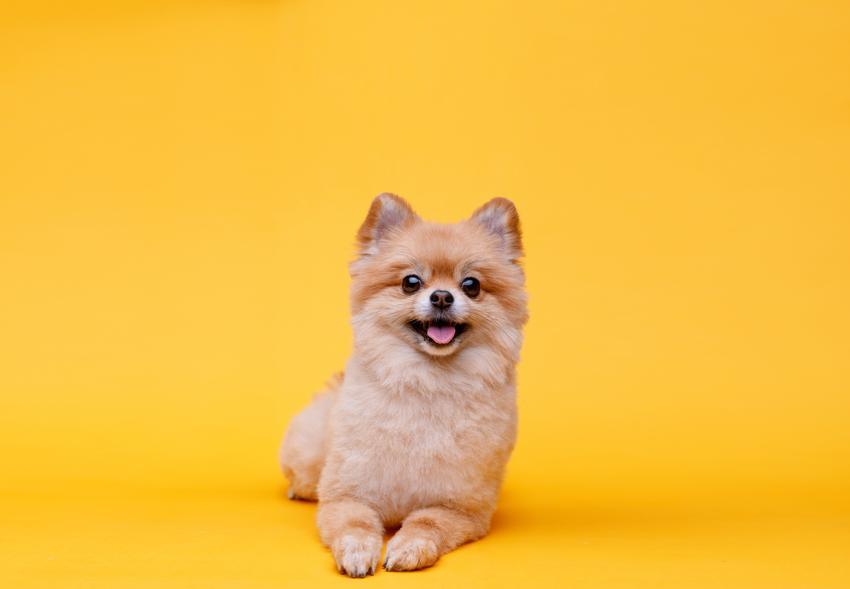 Pies rasy szpic miniaturowy na żółtym tle oraz szczeniak szpica miniaturowego i jego charakter