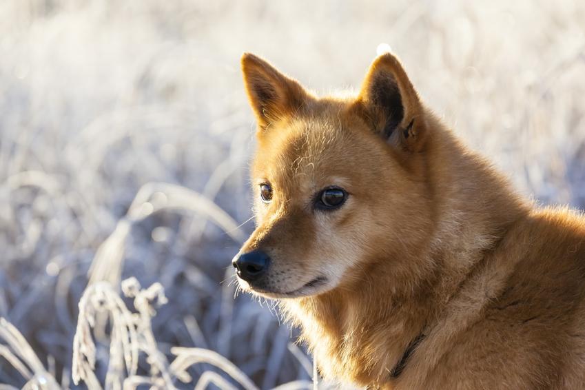Pies rasy szpic fiński na łonie natury oraz charakter, usposobienie i cena w Polsce