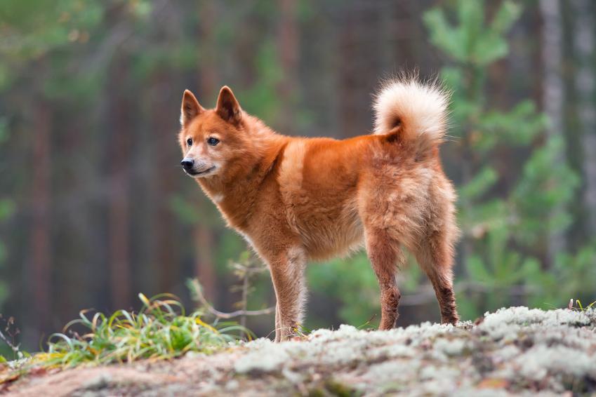Pies rasy szpic fiński na tle lasu, a także jego charakter i polecana hodowla w Polsce