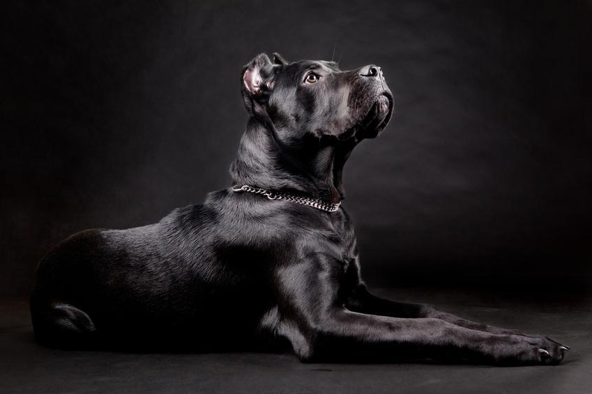 Pies rasy Cane carso na czarnym tle, a także znane rasy dużych psów