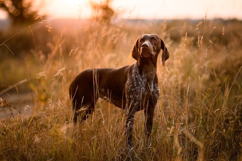 Dog niemiecki podczas spaceru oraz ciekawe rasy dużych psów