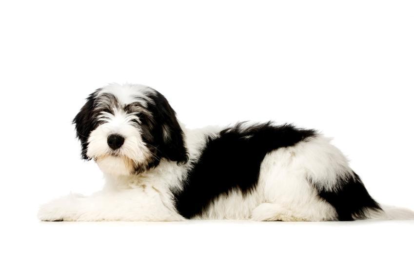 Leżący owczarek nizinny na białym tle, a także znane rasy dużych psów