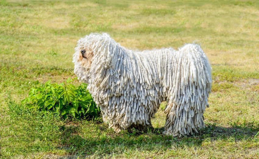 Owczarek węgierski na tle trawy i inne rasy dużych psów