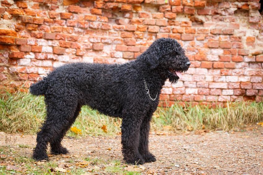 Czarny terrier rosyjski i inne popularne rasy dużych psów, które warto poznać