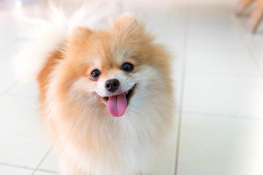 Pies rasy szpic miniaturowy na kafelkach, a także charakter pomerianiana