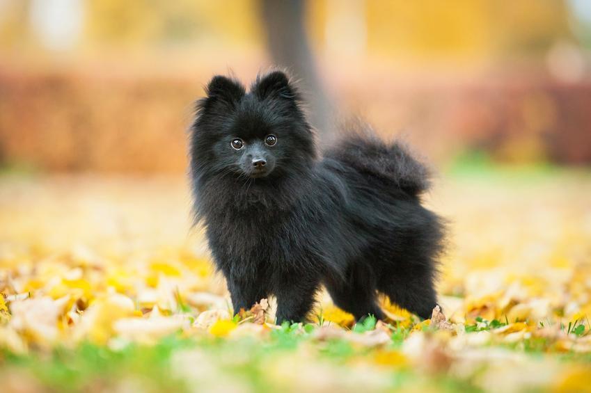 Pies rasy szpic miniaturowy czarny w parku na tle liści oraz charakter pomerianiana
