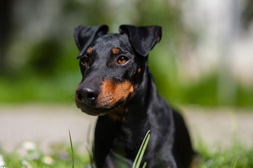 Pies rasy manchester terrier i zbliżenie na jego pysk oraz hodowla manchester terriera