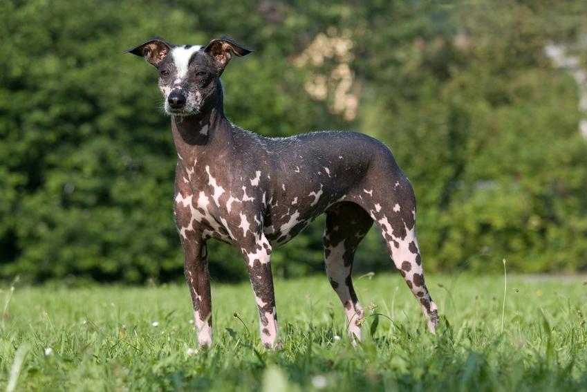 Pies rasy nagi pies peruwiański na trawniku, a także jego charakter i cena
