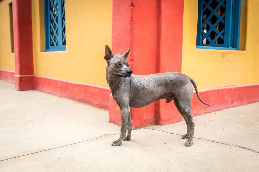 Pies rasy nagi pies peruwiański na tle kolorowego budynku oraz jego charakter i hodowla