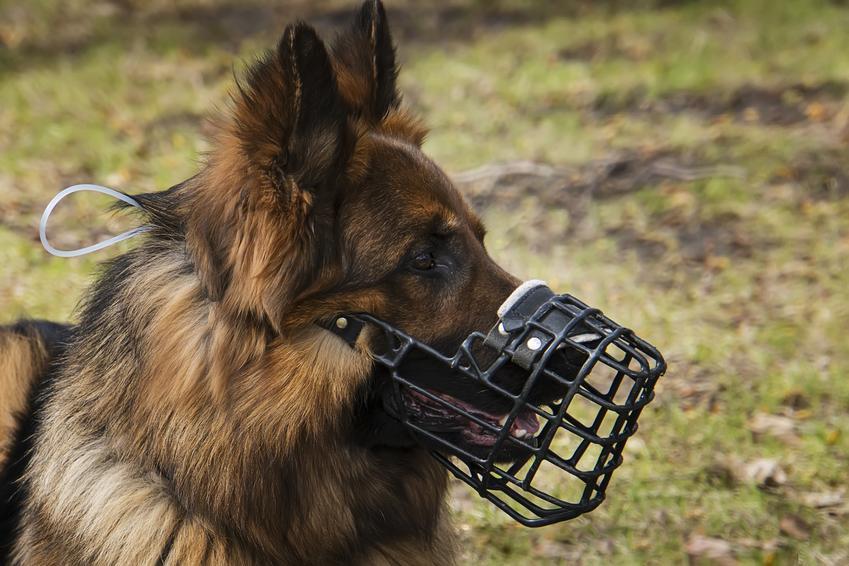 Pies w kagańcu, a także porady i przepisy prawne, czy pies musi mieć kaganiec