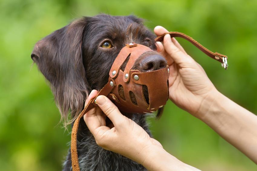 Pies z zakładanym kagańcem, a także czy pies musi mieć kaganiec oraz przepisy prawne
