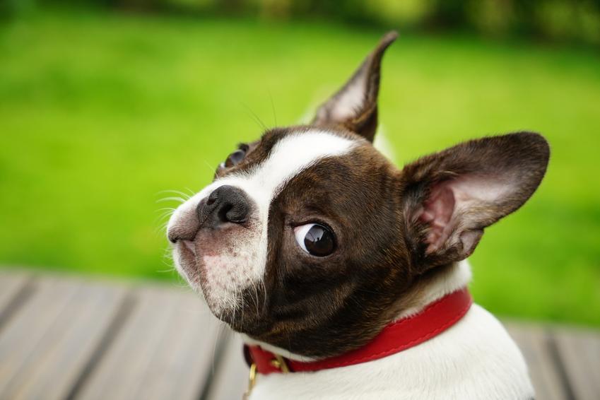 Pies rasy boston terrier miniaturka na zdjęciu portretowym, a także jego usposobienie i hodowla