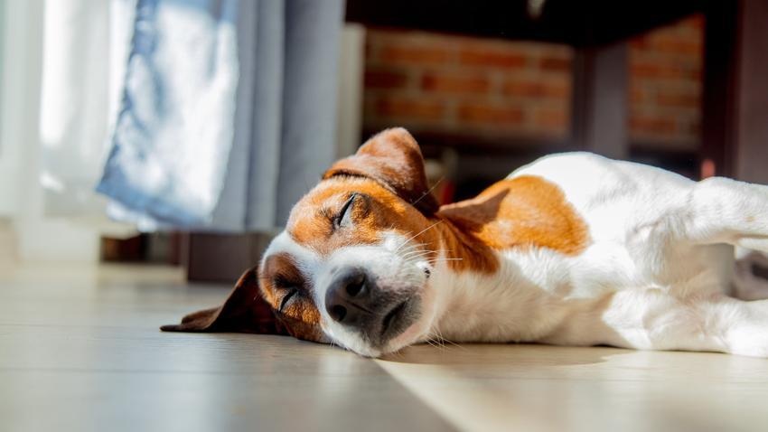 Pies leżący na podłodze w domu oraz pies po kastracji i jego zachowanie