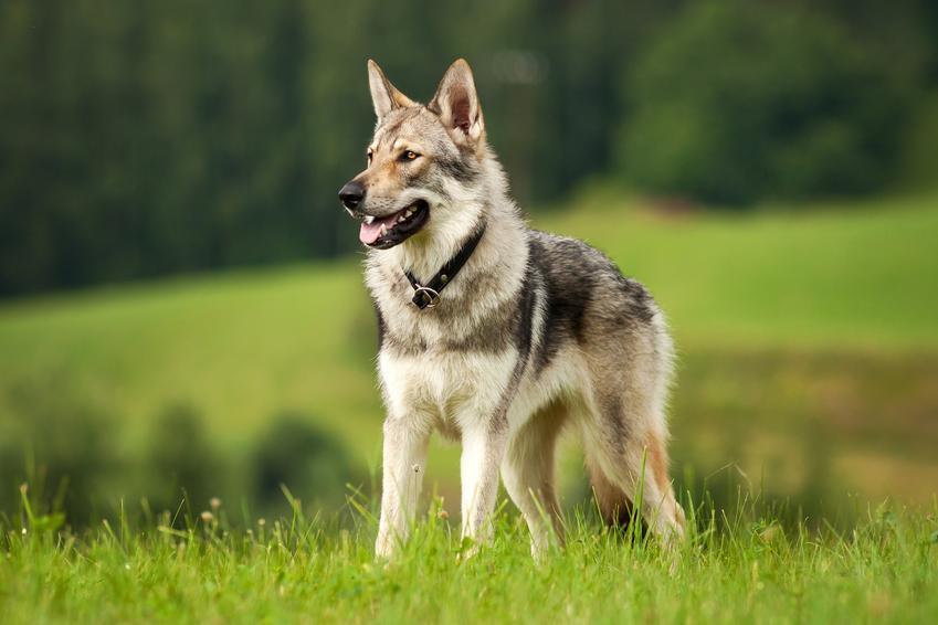 Pies rasy wilk czechosłowacki na tle trawy, a także jego opis i usposobienie