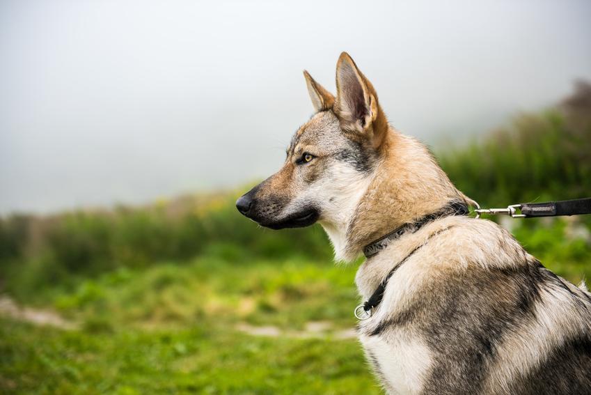 Pies rasy wilk czechosłowacki na tle zieleni, a także jego hodowla i cena