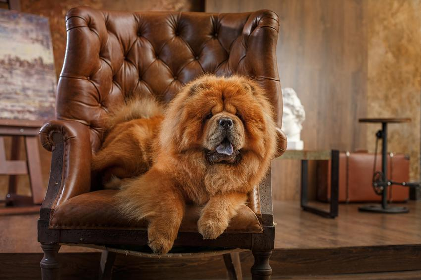 Pies rasy chow chow na eleganckim fotelu oraz pies z niebieskim językiem i jego charakter