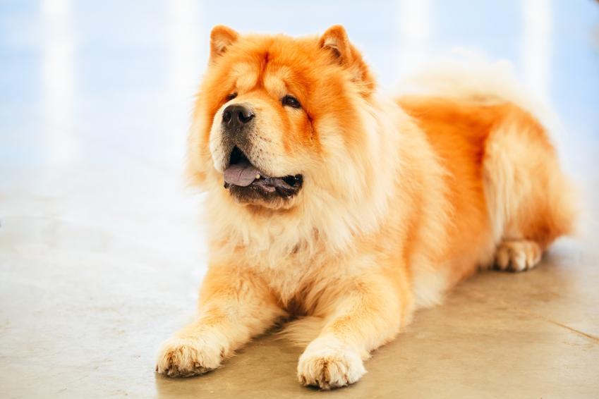 Pies rasy chow chow leżący na podłodze, a także cena chow chow i howola