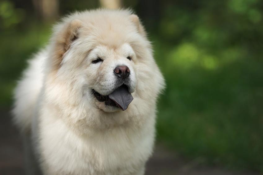 Pies rasy chow chow na tle zieleni, a także informacje o chow chow panda