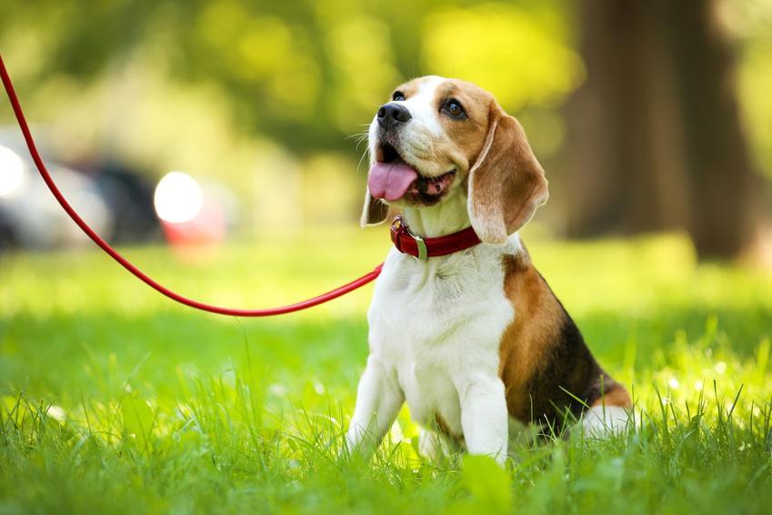 Pies rasy beagle podczas spaceru na smyczy oraz inne rasy psów średnich