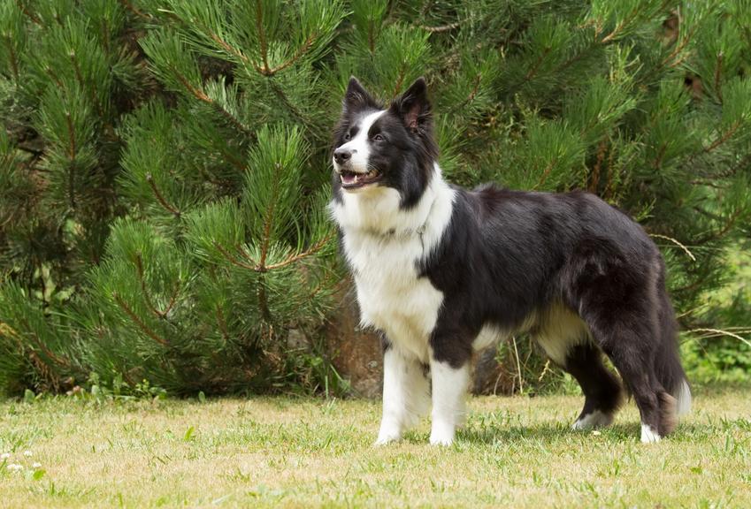 Pies rasy border colie i inne znane i lubiane rasy psów średnich