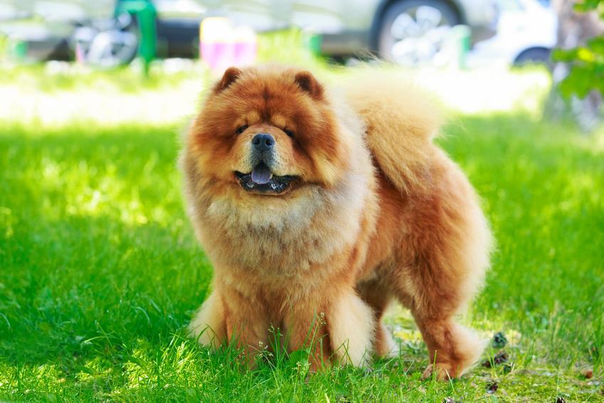 Pies rasy chow chow stojący na trawie i inne rasy psów średnich
