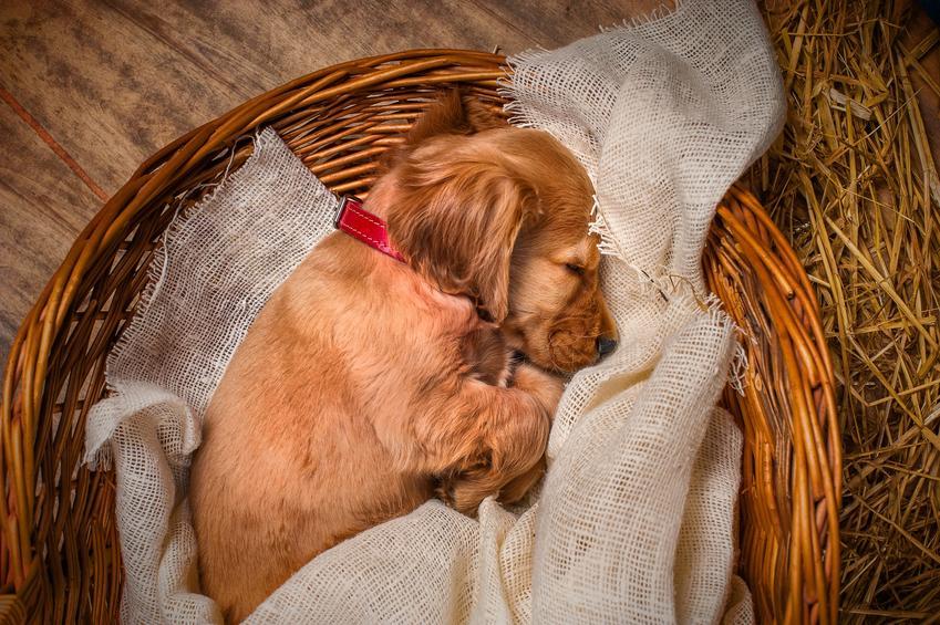 Śpiący w koszyku pies rasy cocker spaniel oraz rasy psów średnich