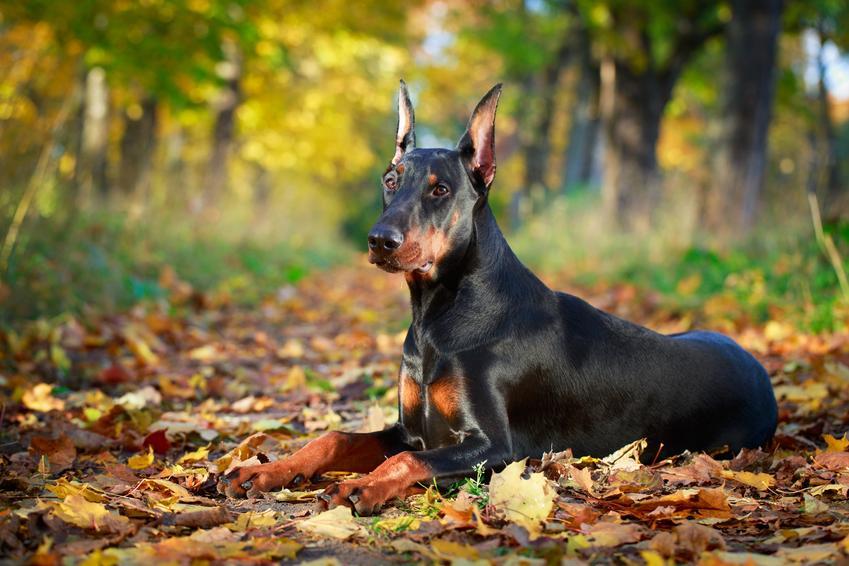 Pies rasy doberman na tle jesiennych liści i inne rasy psów średnich