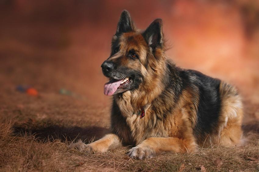 Pies rasy owczarek niemiecki leżący na brązowym tle oraz rasy psów średnich które warto znać