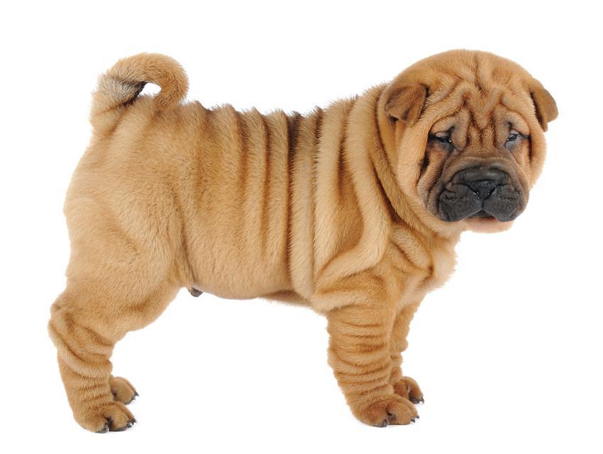 Pies rasy Shar pei na białym tle, czyli pomarszczony pies, a także znane rasy psów średnich