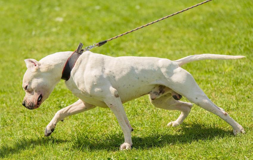 Pies rasy dog argentyński pidczas spaceru na trawniku, a także charakter i cena