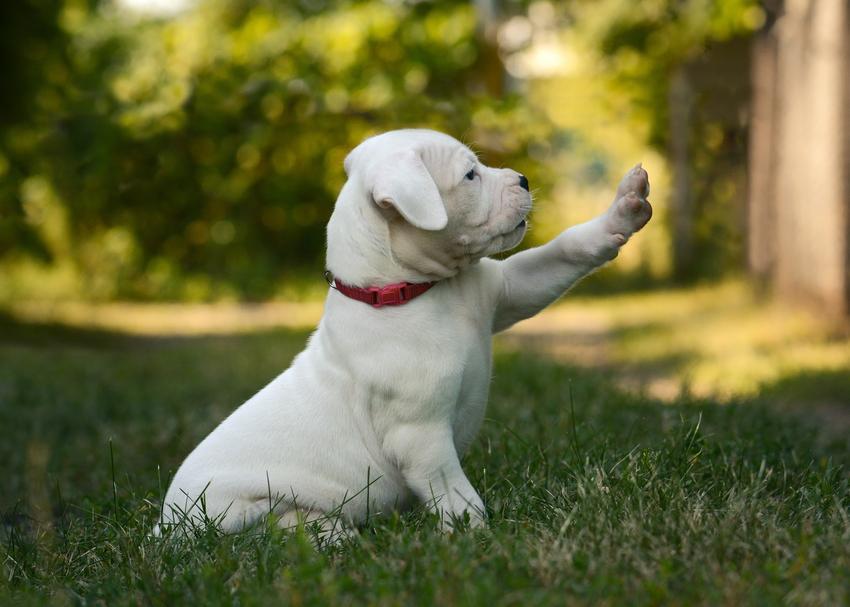 Szczeniak psa rasy dog argentyński na trawniku, a także wychowanie, cena za szczeniaki