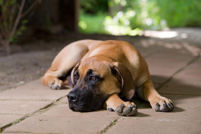 Pies rasy boerboel leżący na płytkach na podwórku, a także hodowla boerboela w Polsce