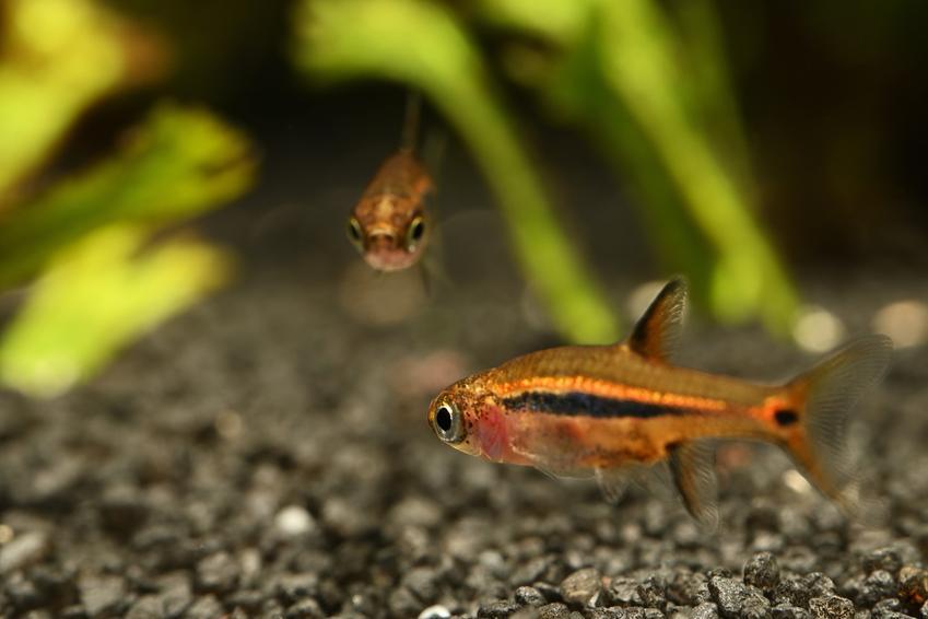 Ryby akwariowe z gatunku razbora borneańska, boraras brigittae oraz ich hodowla