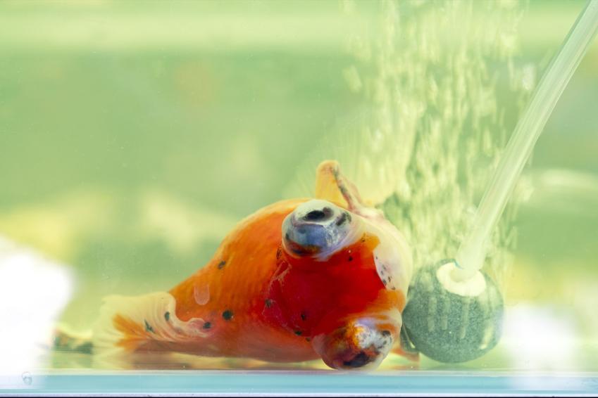 Rybka na dnie akwarium, a także posocznica u ryb i choroby ryb akwariowych